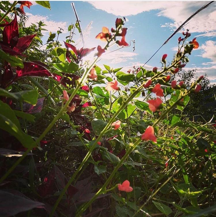 scarlet runner bean seeds  sierra y cielo