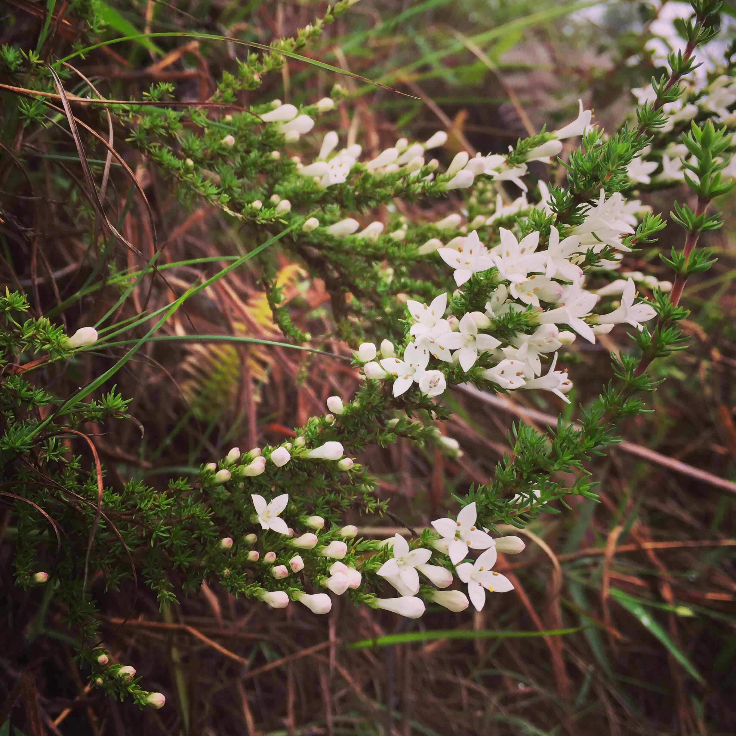 Arcytophyllum thymifolium
