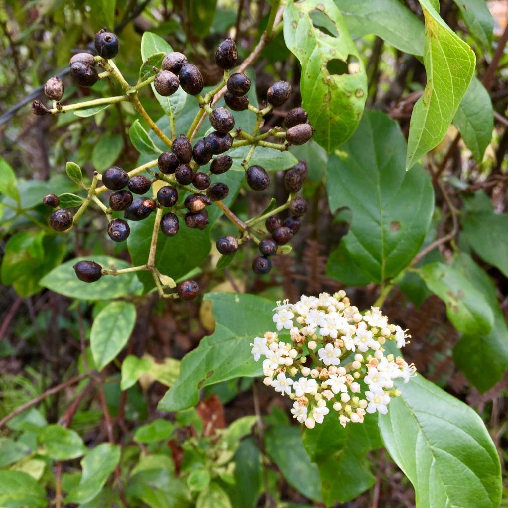 Viburnum divaricatum