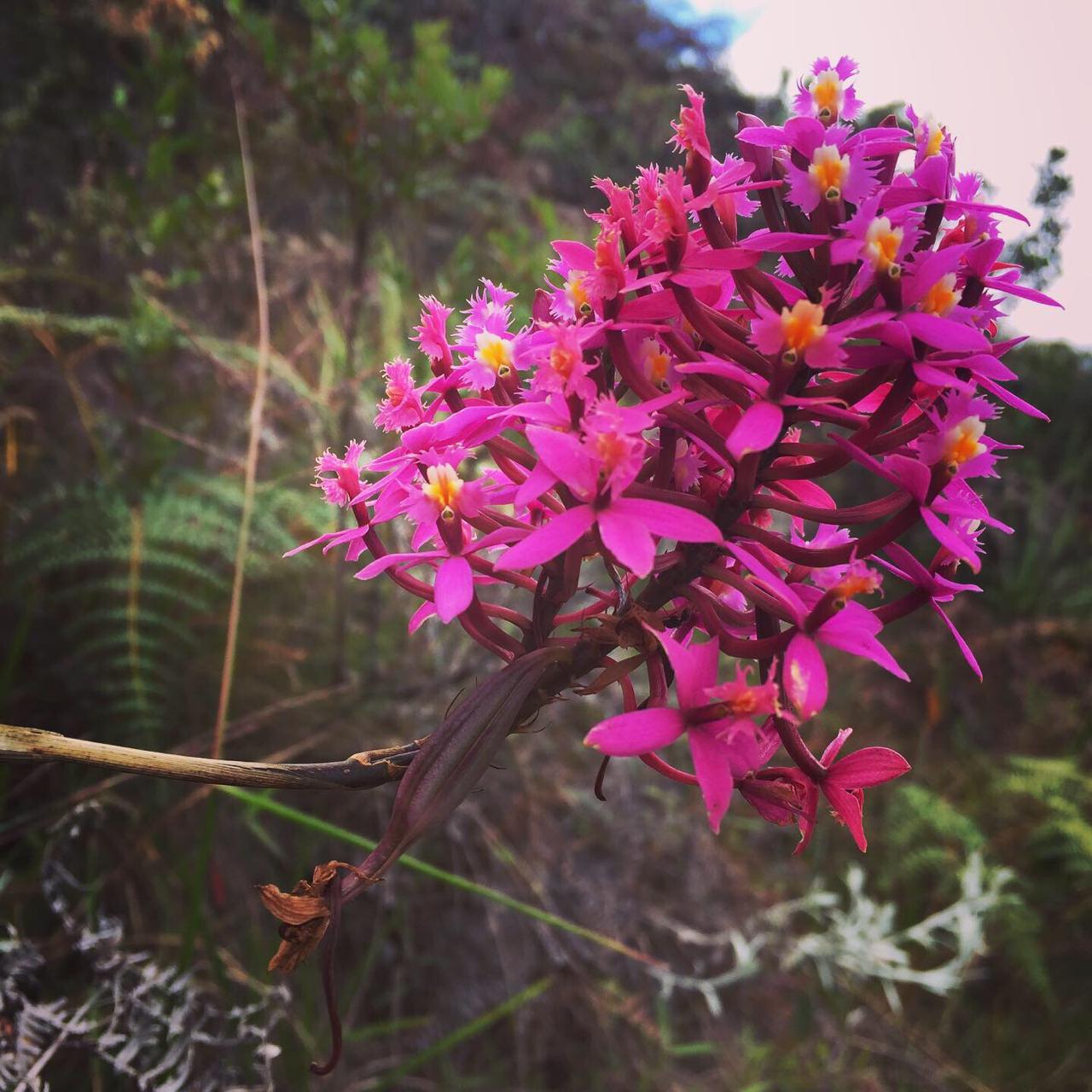 Epidendrum jamiesonis